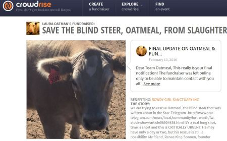 Oatmeal Steer Cow Abortion